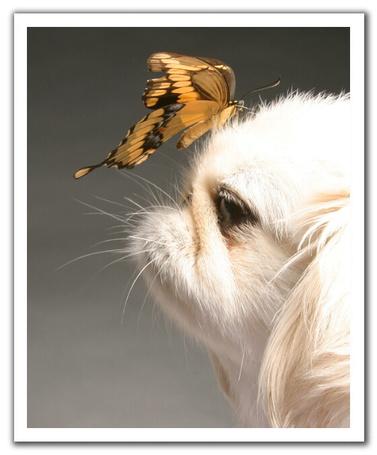 Фото Красивая бабочка на носу у пекинеса (© Штушка), добавлено: 05.06.2011 21:56