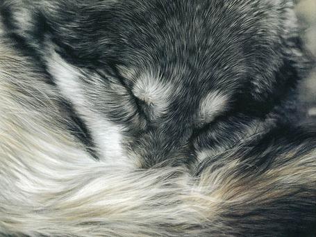 Фото Спящий волк (© Штушка), добавлено: 05.06.2011 22:25