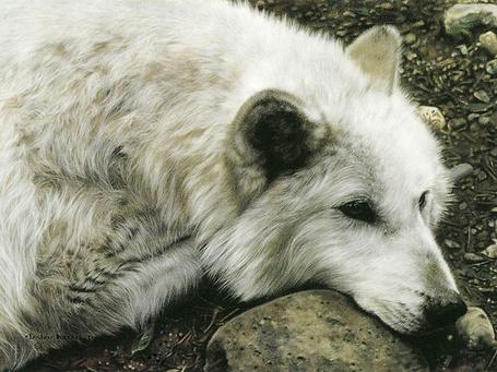 Фото Красивый, белый волк (© Штушка), добавлено: 05.06.2011 22:28