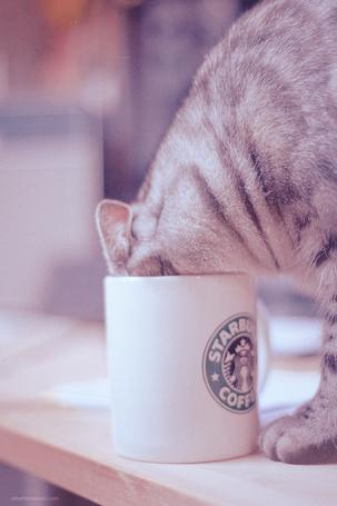 Фото Кот пьет из чашки Starbucks Coffee (© Radieschen), добавлено: 06.06.2011 16:23