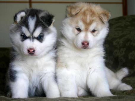 Фото Милые щенки хаски (© Volkodavsha), добавлено: 09.06.2011 20:17