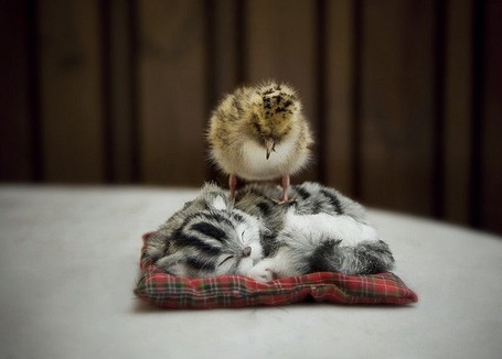 Фото Цыпа на коте (© Штушка), добавлено: 09.06.2011 21:27