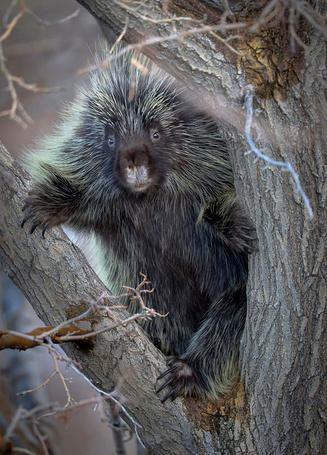 Фото Дикобраз на дереве (© Штушка), добавлено: 09.06.2011 21:29