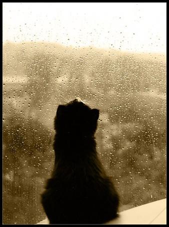 Фото Черный котенок смотрит на капли дождя на стекле (© Шепот_дождя), добавлено: 19.06.2011 22:12