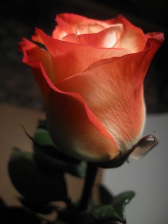 Фото Оранжевая роза (© Штушка), добавлено: 20.07.2011 11:58