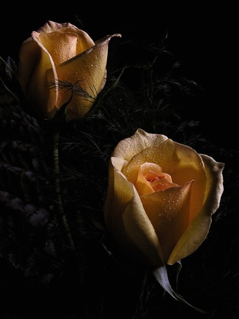 Фото Жёлтые розы (© Штушка), добавлено: 20.07.2011 12:05