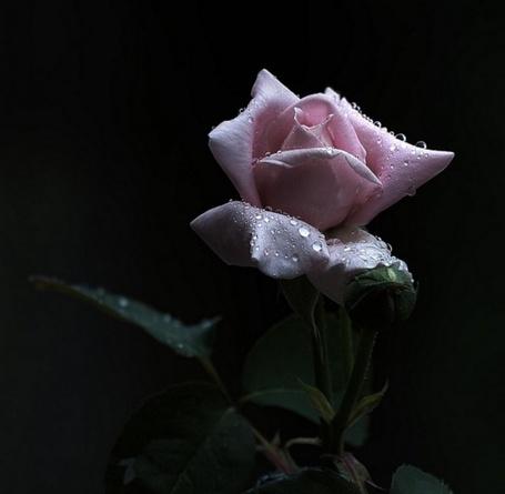 Фото Розовая роза в капельках (© Штушка), добавлено: 20.07.2011 12:06