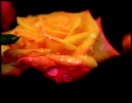 Фото Красивая роза в каплях (© Штушка), добавлено: 20.07.2011 12:06