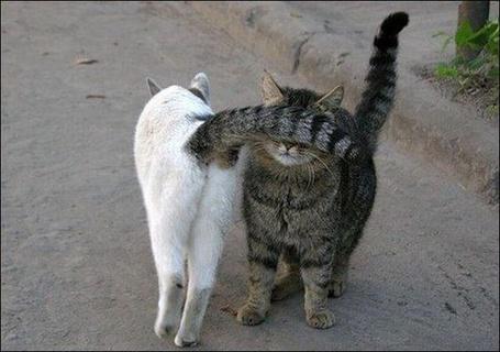 Фото Кот своим хвостом закрыл глаза другому коту (© Радистка Кэт), добавлено: 27.07.2011 17:06