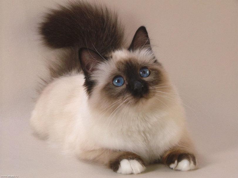 Фото Красивая голубоглазая кошка