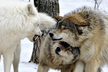 Фото Три волка в зимнем лесу (© Fenix), добавлено: 01.08.2011 02:19