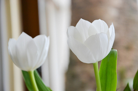 Фото Белые тюльпаны