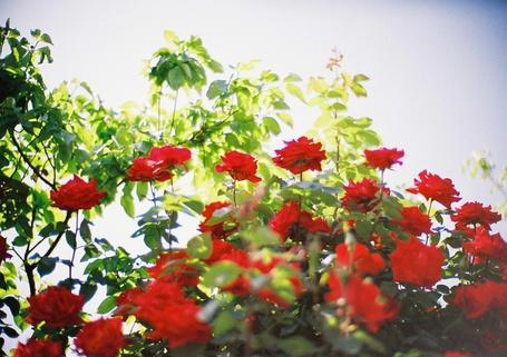 Фото Красные розы (© Штушка), добавлено: 09.08.2011 17:45