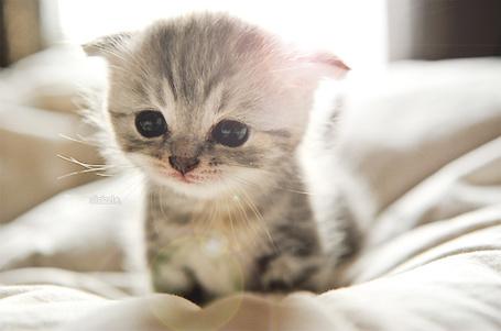 Фото Милый котенок сидит на кровати (© Радистка Кэт), добавлено: 12.08.2011 16:04