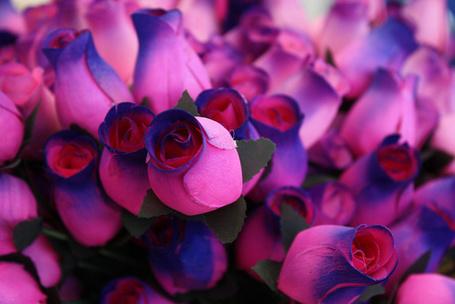 Фото Фиолетовые розы (© Штушка), добавлено: 13.08.2011 14:43