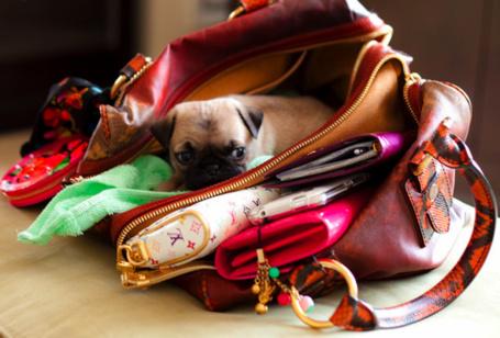 Фото Мопс лежит в сумке (© Штушка), добавлено: 14.08.2011 14:55