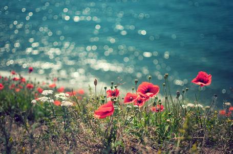 Фото Маки, цветущие около моря (© Радистка Кэт), добавлено: 19.08.2011 01:24