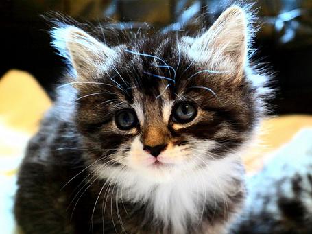 Фото Пушистый котёнок (© Volkodavsha), добавлено: 20.08.2011 08:52