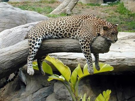Фото Леопард на отдыхе (© Volkodavsha), добавлено: 20.08.2011 14:24