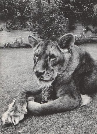 Фото Котёнок под защитой льва (© alcatel), добавлено: 20.08.2011 21:45
