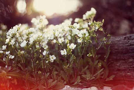 Фото Белые лесные цветы у бревна (© Радистка Кэт), добавлено: 23.08.2011 01:02