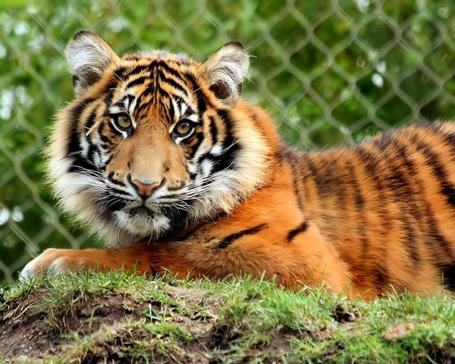 Фото Суматранский тигр (© kuca), добавлено: 24.08.2011 13:49