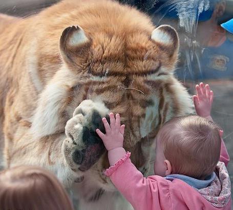 Фото Тигр здоровается с ребёнком через стекло в зоопарке (© alcatel), добавлено: 25.08.2011 01:10