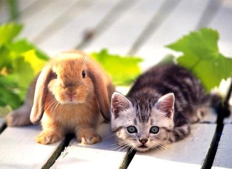 Фото Кролик и котёнок (© alcatel), добавлено: 25.08.2011 02:04