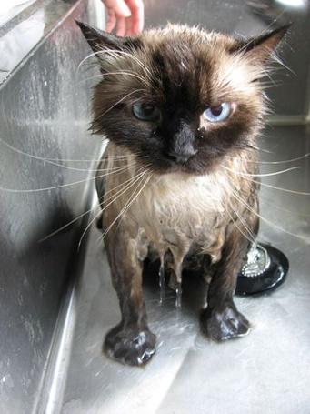 Фото Мокрый кот (© alcatel), добавлено: 29.08.2011 18:21