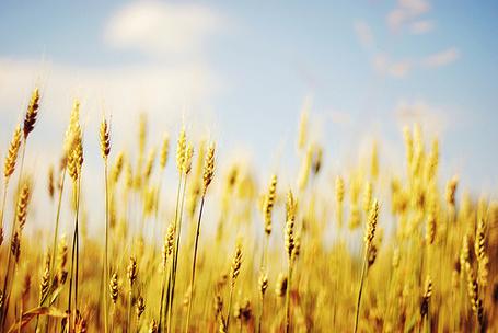 Фото Пшеничное поле (© Радистка Кэт), добавлено: 30.08.2011 00:49