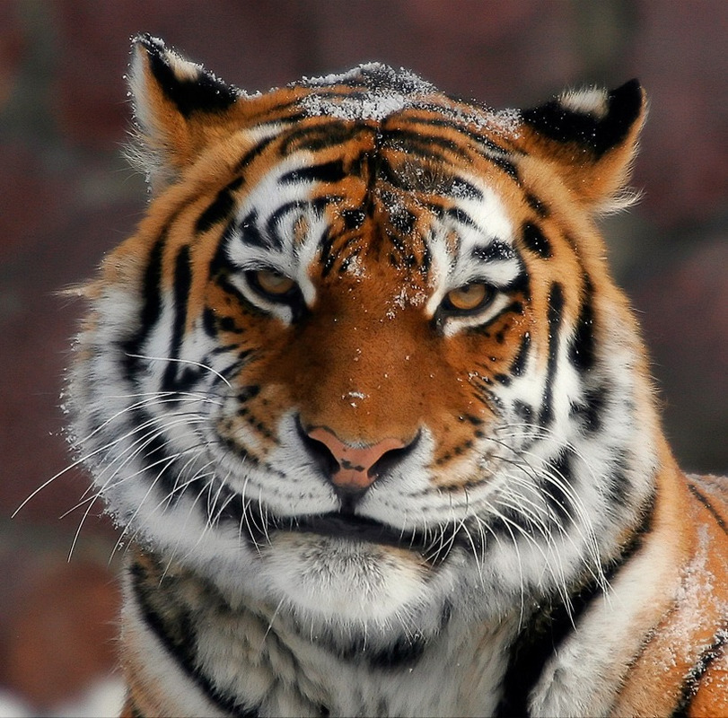 шлёпанцы веселый тигр фото беру только такой