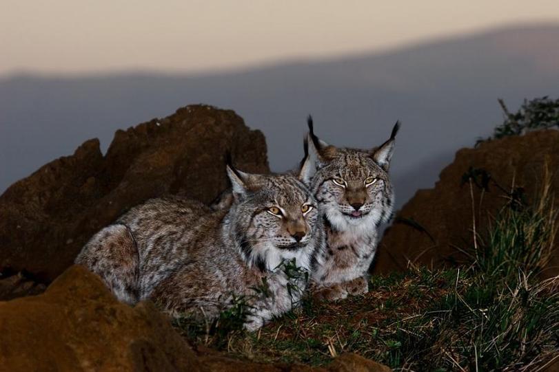 Фото Две рыси на склоне горы