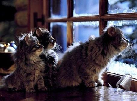 Фото Котята смотрят в заледеневшее окно (© alcatel), добавлено: 01.09.2011 00:25