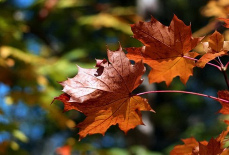 Фото Осенние листья клёна (© Штушка), добавлено: 01.09.2011 01:10