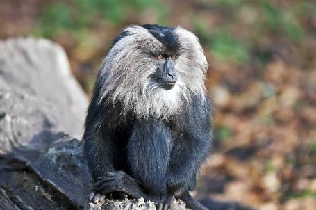 Фото Главное украшение вандеру – большая серебристая грива, обрамляющая его черное лицо от щек до подбородка (© Volkodavsha), добавлено: 01.09.2011 19:59