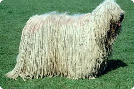 Фото Комондор – венгерская овчарка (© Volkodavsha), добавлено: 03.09.2011 12:09