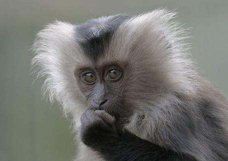 Фото Львинохвостый макак один из самых редких и уязвимых видов приматов (© Volkodavsha), добавлено: 03.09.2011 15:37