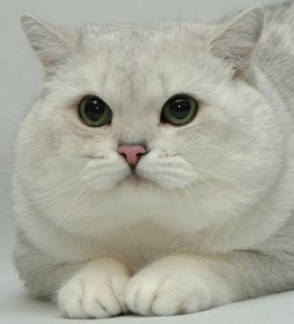 Фото Белый упитанный кот (© alcatel), добавлено: 05.09.2011 12:04