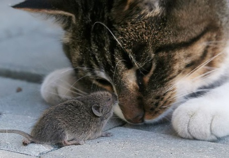 Фото Кошка с мышкой (© alcatel), добавлено: 09.09.2011 19:38