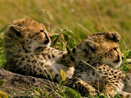 Фото Два маленьких леопарда