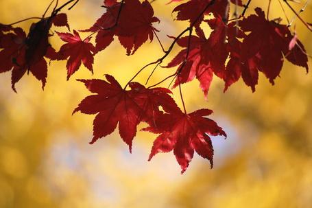 Фото Багровые листья (© TARAKLIA), добавлено: 10.09.2011 20:51