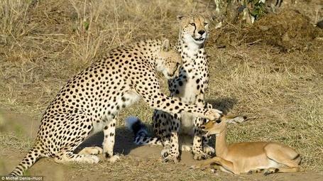 Фото Два леопарда и косуля