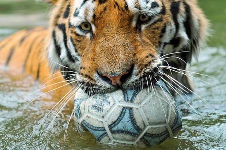 Фото Тигр плавает с мячом в зубах