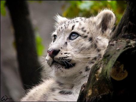 Фото Белый тигрёнок (© alcatel), добавлено: 11.09.2011 02:29