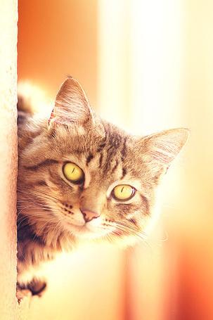 Фото Кошка выглядывает из-за угла (© alcatel), добавлено: 11.09.2011 23:22