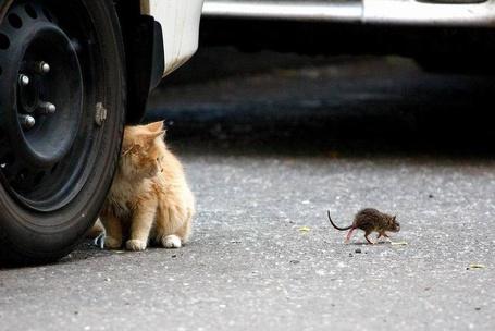 Фото Котёнок наблюдает за мышкой сидя у колеса автомобиля (© alcatel), добавлено: 11.09.2011 23:35