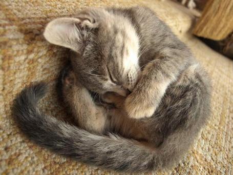 Фото Котёнок спит свернувшись клубком