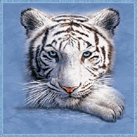 Фото Белый тигр (© Anatol), добавлено: 12.09.2011 13:15