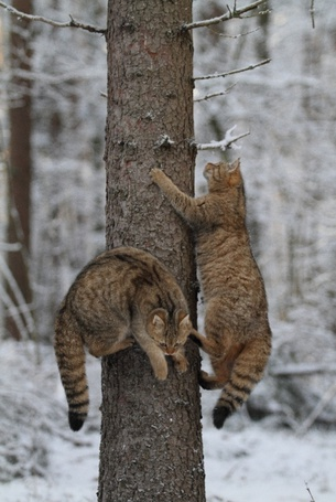 Фото Кошки на дереве (© alcatel), добавлено: 12.09.2011 14:20