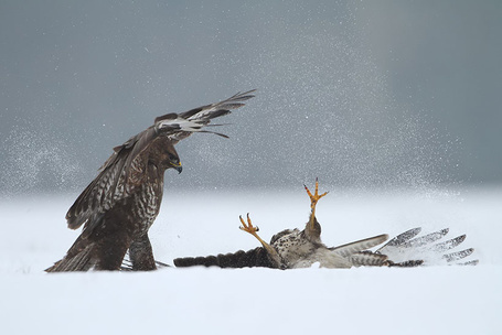 Фото Битва двух ястребов (© alcatel), добавлено: 12.09.2011 17:27